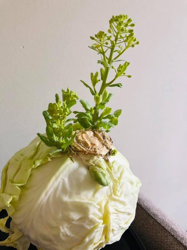 """Lần đầu thấy bắp cải ra hoa, cô nàng đăng đàn khoe """"đột biến"""": Dân mạng vào chốt giá ngay 2 tỷ - Ảnh 1."""