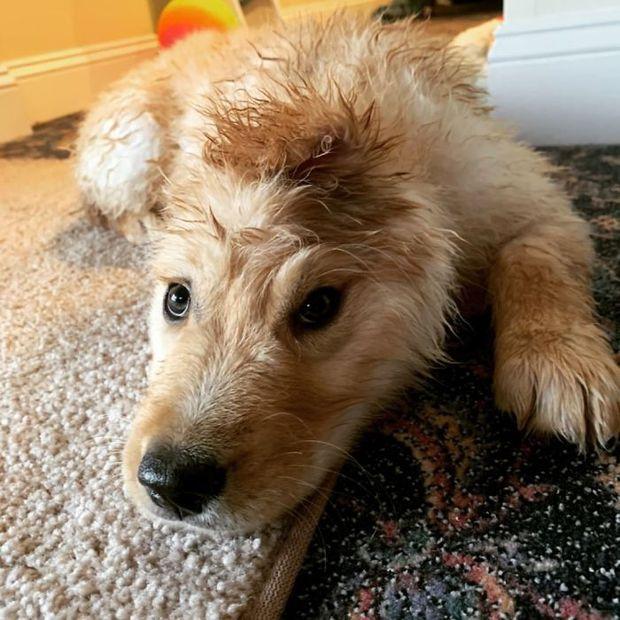 Bị chó mẹ cắn đứt tai khi mới đẻ rồi vụt sáng thành ngôi sao MXH, chú cún kì lân nổi tiếng giờ ra sao? - Ảnh 2.