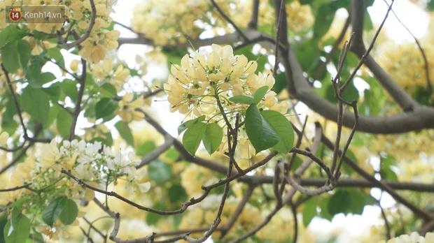 Sau rét nàng Bân, người dân lại được chiêm ngưỡng cây hoa bún bảo vật độc nhất vô nhị toả hương khoe sắc giữa lòng Hà Nội - Ảnh 4.