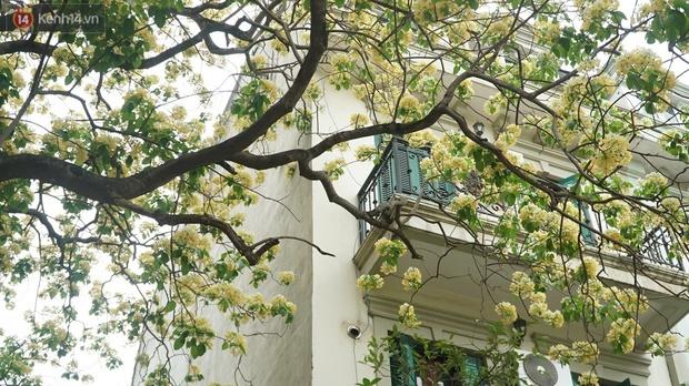 Sau rét nàng Bân, người dân lại được chiêm ngưỡng cây hoa bún bảo vật độc nhất vô nhị toả hương khoe sắc giữa lòng Hà Nội - Ảnh 5.