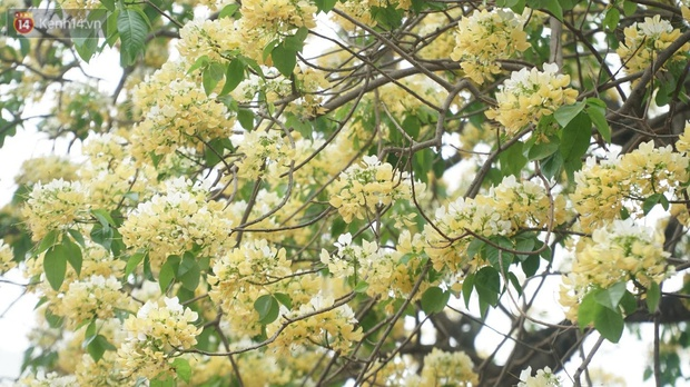 Sau rét nàng Bân, người dân lại được chiêm ngưỡng cây hoa bún bảo vật độc nhất vô nhị toả hương khoe sắc giữa lòng Hà Nội - Ảnh 10.