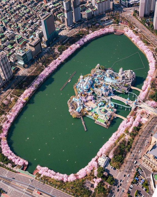 Hoa anh đào phủ kín Lotte World Hàn Quốc tạo nên cảnh tượng y hệt như cổ tích, netizen Việt xem xong ức chế vì 1 lý do - Ảnh 1.