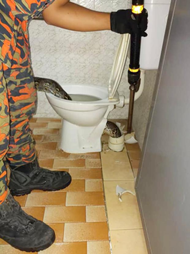 Cơn ác mộng của nhân loại: Đang đi vệ sinh thì bị con trăn dài 3m trốn trong bồn cầu cắn vào mông - Ảnh 1.