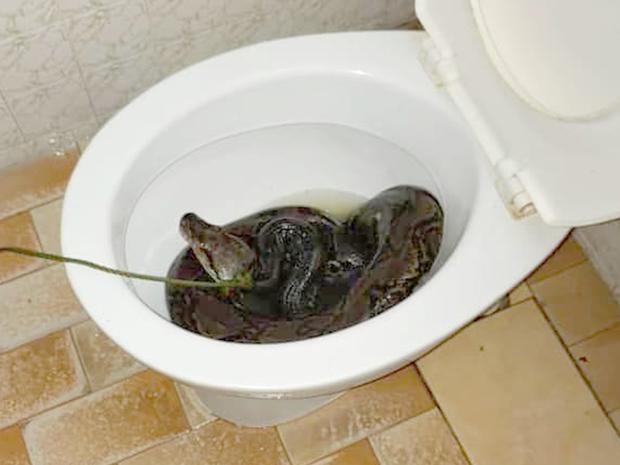 Cơn ác mộng của nhân loại: Đang đi vệ sinh thì bị con trăn dài 3m trốn trong bồn cầu cắn vào mông - Ảnh 2.