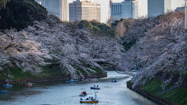 Hoa anh đào Nhật Bản bung nở đẹp mỹ mãn lần đầu tiên trong suốt 1200 năm, nhưng ẩn sau đó là một thảm họa đáng sợ - Ảnh 4.