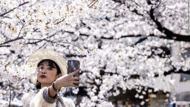 Hoa anh đào Nhật Bản bung nở đẹp mỹ mãn lần đầu tiên trong suốt 1200 năm, nhưng ẩn sau đó là một thảm họa đáng sợ - Ảnh 1.
