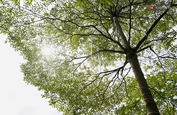 Ảnh: Phong lá đỏ thất bại và đây là những hình ảnh xanh mướt của bàng lá nhỏ - loại cây sẽ thay thế hàng phong trong tương lai - Ảnh 8.
