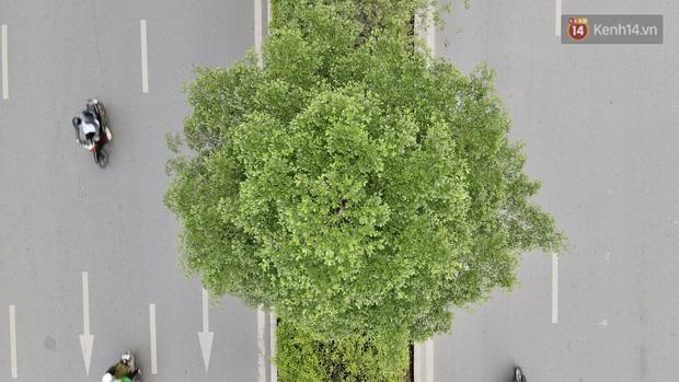 Ảnh: Phong lá đỏ thất bại và đây là những hình ảnh xanh mướt của bàng lá nhỏ - loại cây sẽ thay thế hàng phong trong tương lai - Ảnh 4.