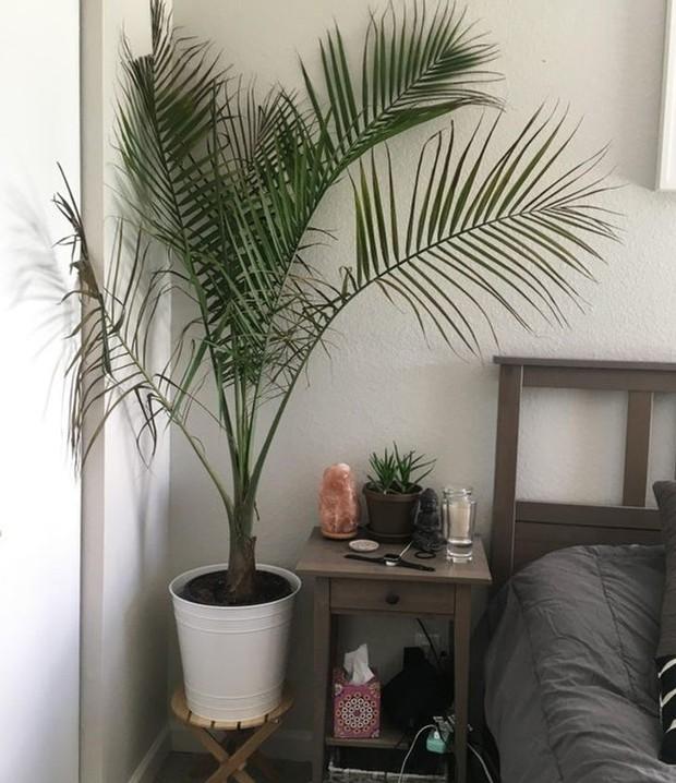 15 cây lọc không khí cực hiệu quả, nhà có người bị dị ứng càng nên trồng - Ảnh 10.