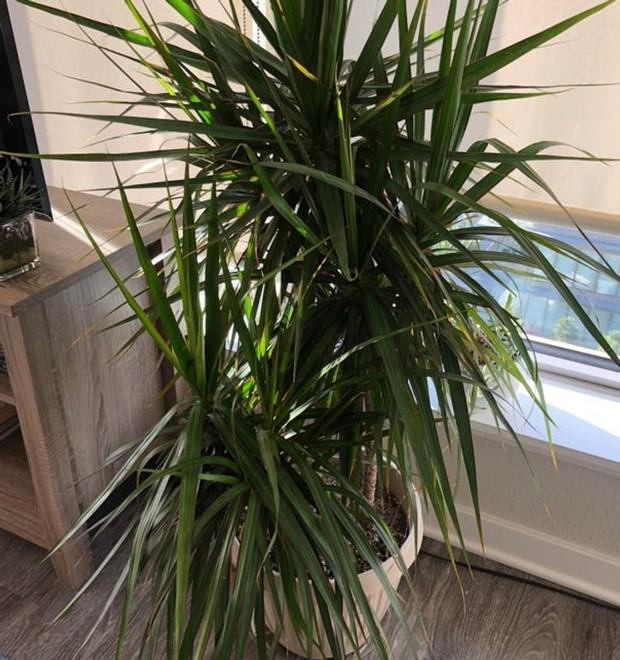 15 cây lọc không khí cực hiệu quả, nhà có người bị dị ứng càng nên trồng - Ảnh 2.