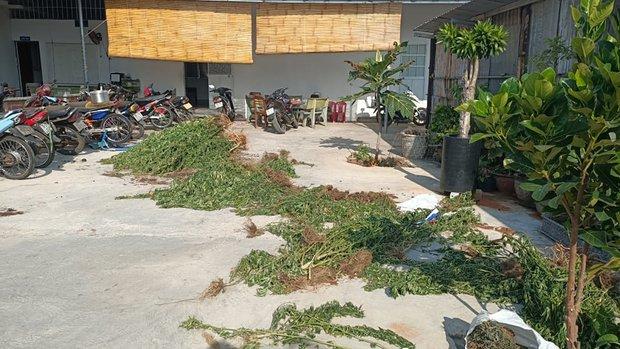 Phát hiện một người nước ngoài trồng hơn 400 cây cần sa - Ảnh 1.