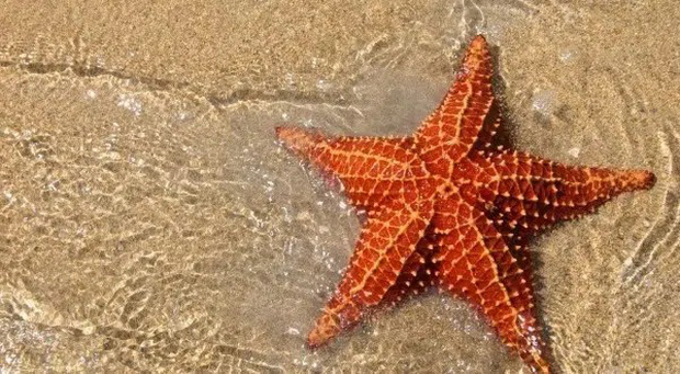"""""""Bổ túc"""" cấp tốc về loài sao biển, vì sao du khách chỉ chạm vào cũng đủ giết chết chúng? - Ảnh 8."""