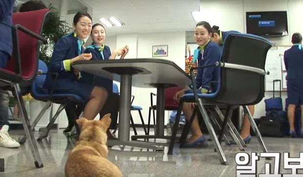 Chú chó mê gái khét tiếng ở sân bay Hàn Quốc: Thấy tiếp viên nữ là sấn sổ bổ nhào, gặp tiếp viên nam thì thờ ơ tránh né - Ảnh 5.