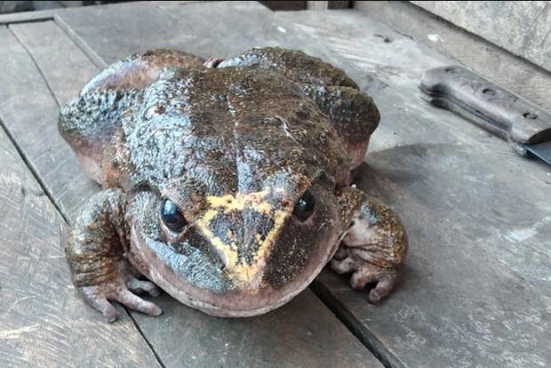 Xôn xao bức ảnh con ếch khổng lồ, câu chuyện phía sau khiến dân mạng thêm lo lắng - Ảnh 2.