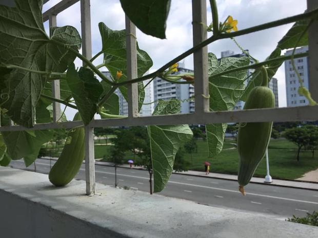 Tự trồng dưa hấu ngoài ban công kí túc xá, tới ngày xẻ ra ăn, cậu sinh viên cực bất ngờ vì thành quả bên trong - Ảnh 4.