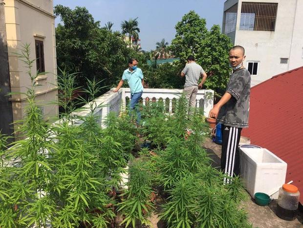 Vụ vườn cần sa trên nóc một ngôi nhà ở Hà Nội: Ông chủ khai trồng để ngâm rượu - Ảnh 1.