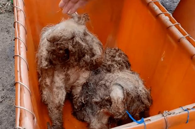 Hai chú chó đáng thương nằm bất động trên đường, trông như giẻ lau nhưng rồi gây ngỡ ngàng với màn lột xác ngoạn mục sau đó - Ảnh 2.