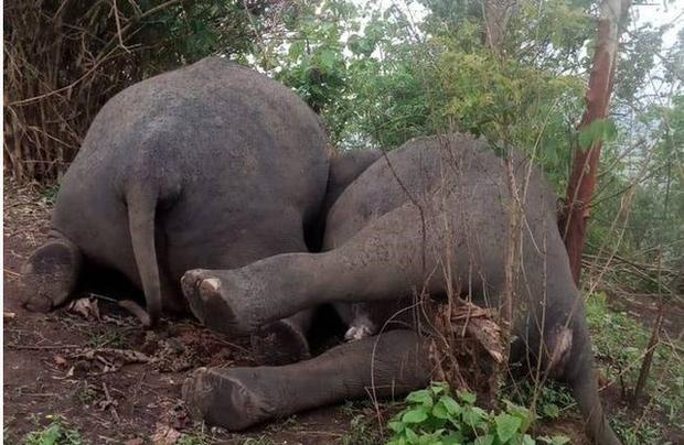 Sét lớn đánh chết 18 con voi ở Ấn Độ - Ảnh 2.