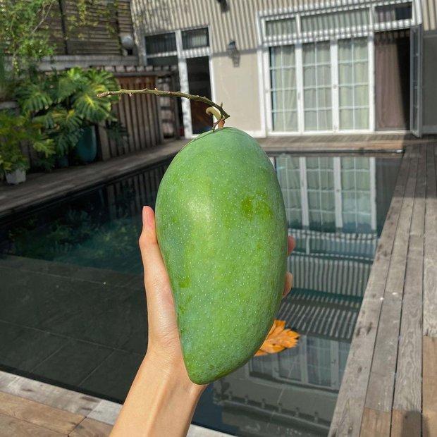 """Dâu hào môn Hà Tăng cuối tuần làm """"nông dân"""", khoe trái xoài bự hơn 1kg trong vườn biệt thự khiến ai cũng trầm trồ - Ảnh 3."""