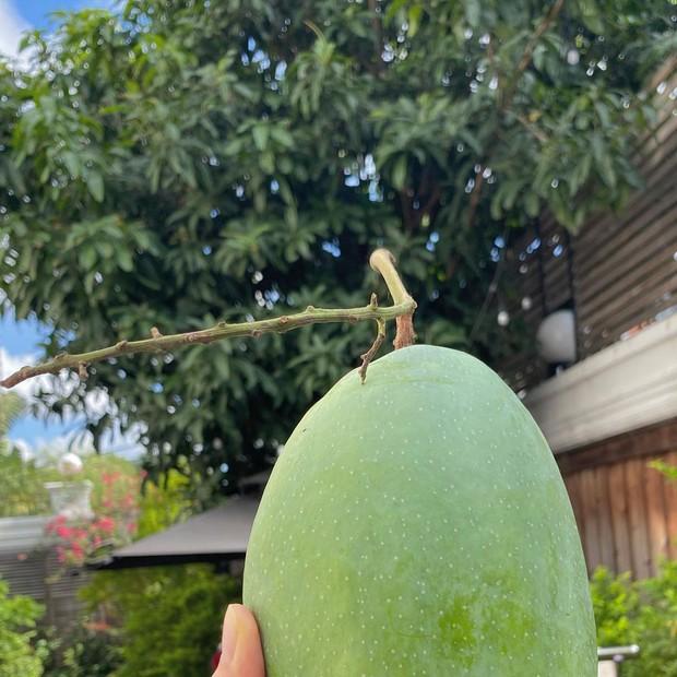 """Dâu hào môn Hà Tăng cuối tuần làm """"nông dân"""", khoe trái xoài bự hơn 1kg trong vườn biệt thự khiến ai cũng trầm trồ - Ảnh 2."""
