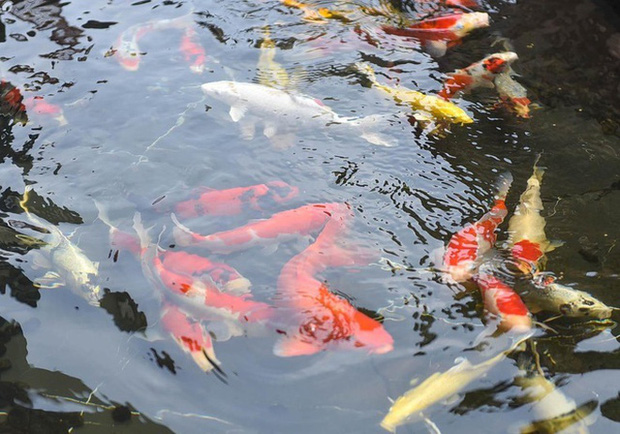 Biệt thự phố cổ Hà Nội của đại gia thời trang Chương Tailor: Xây bể cá Koi 5 tỷ ở ban công, dành nguyên tầng điều hòa nuôi chim đột biến - Ảnh 4.