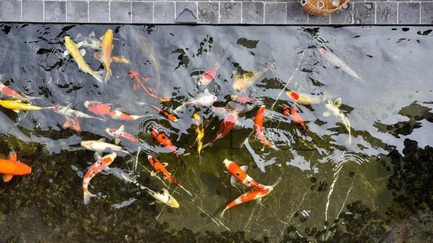 Biệt thự phố cổ Hà Nội của đại gia thời trang Chương Tailor: Xây bể cá Koi 5 tỷ ở ban công, dành nguyên tầng điều hòa nuôi chim đột biến - Ảnh 5.