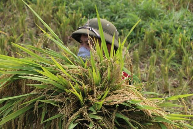 Vĩnh Phúc: Đoàn viên, công an giúp các gia đình bị cách ly y tế thu hoạch lúa chín - Ảnh 4.