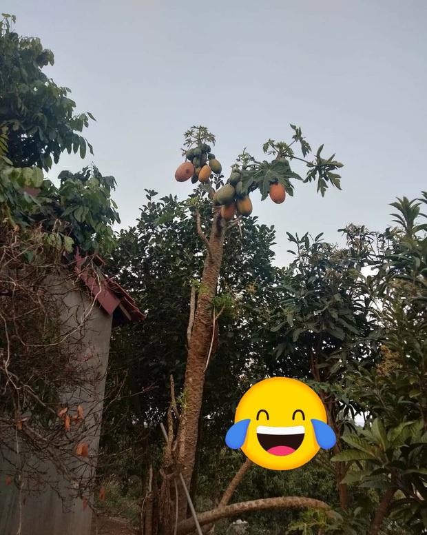 Những lần trái cây Việt Nam ra hoa kết quả vô cùng éo le, gia chủ bất lực không biết phải thu hoạch làm sao - Ảnh 3.