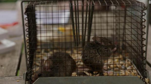 Binh đoàn chuột hàng triệu con đang xâm chiếm nước Úc, nhà chức trách phải ra quyết định hủy diệt gây nhiều tranh cãi - Ảnh 2.