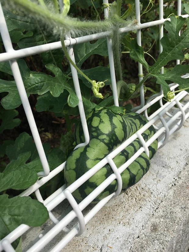 Những lần trái cây Việt Nam ra hoa kết quả vô cùng éo le, gia chủ bất lực không biết phải thu hoạch làm sao - Ảnh 7.