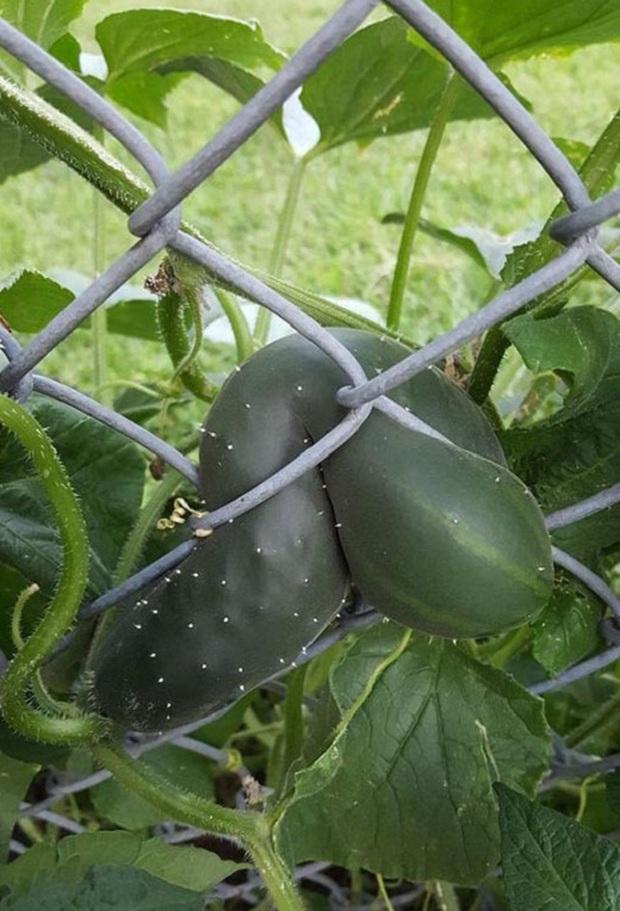 Những lần trái cây Việt Nam ra hoa kết quả vô cùng éo le, gia chủ bất lực không biết phải thu hoạch làm sao - Ảnh 9.