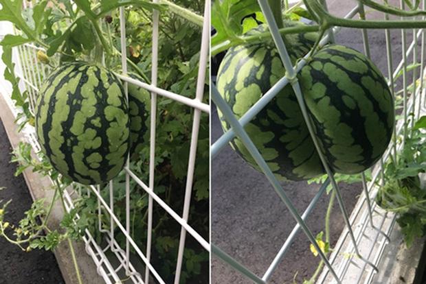 Những lần trái cây Việt Nam ra hoa kết quả vô cùng éo le, gia chủ bất lực không biết phải thu hoạch làm sao - Ảnh 11.