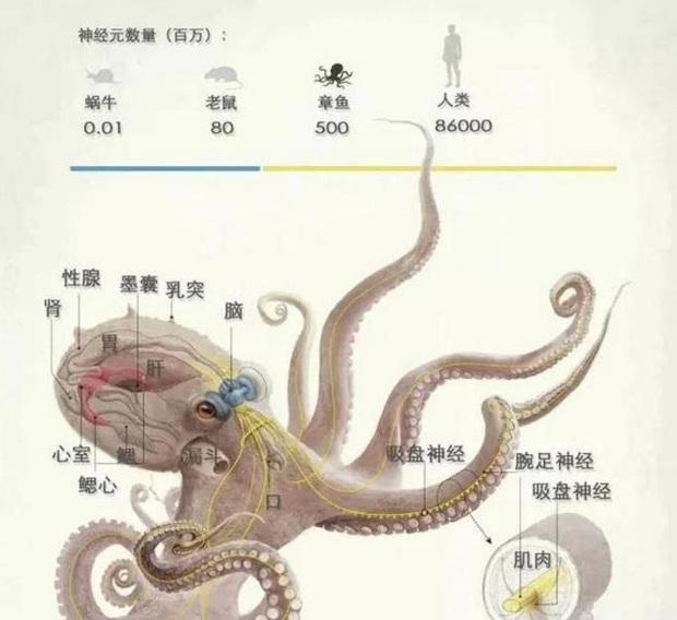 Vì sao bạch tuộc bị nghi ngờ là sinh vật ngoài hành tinh? - Ảnh 5.
