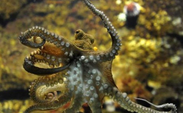 Vì sao bạch tuộc bị nghi ngờ là sinh vật ngoài hành tinh? - Ảnh 3.