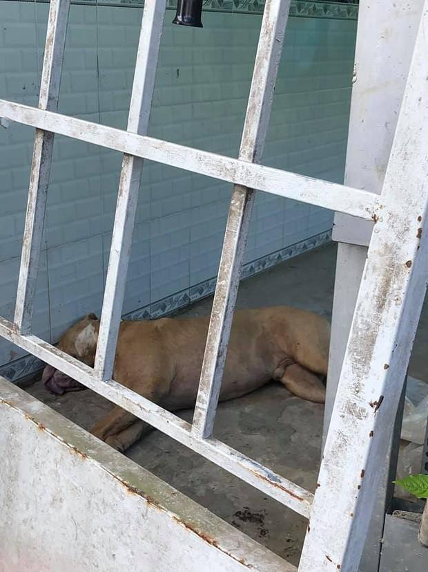 Để chó Pitbull cắn chết người, chủ vật nuôi có thể bị phạt đến 5 năm tù - Ảnh 1.