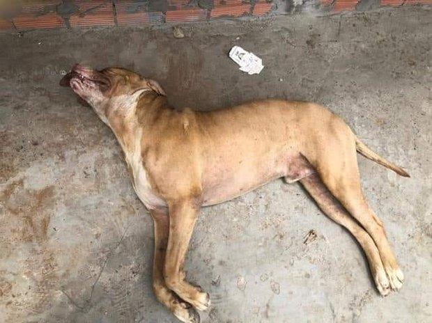Để chó Pitbull cắn chết người, chủ vật nuôi có thể bị phạt đến 5 năm tù - Ảnh 2.