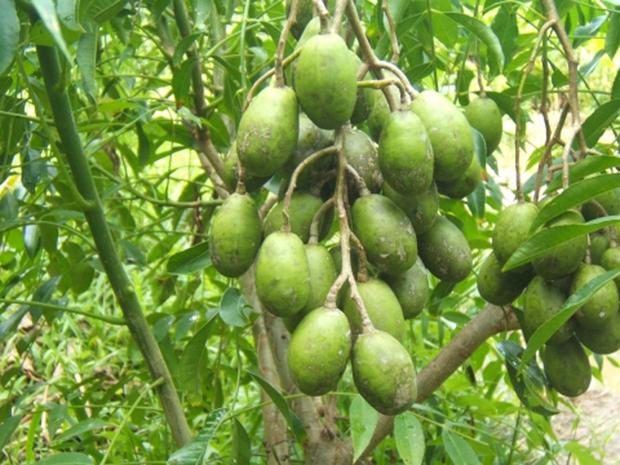 Trồng vườn cóc ra quả trĩu cành nhưng bán không ai mua, nông dân miền Tây tự cầm dao chặt bỏ hết khiến dân mạng tranh cãi - Ảnh 3.