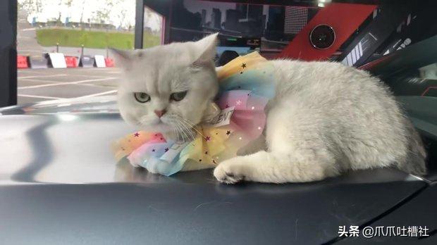 Chú mèo chuyên nằm nóc xe hơi chỉ chơi với ngủ nhận 50 triệu đồng/ buổi giúp sen đổi đời - Ảnh 8.