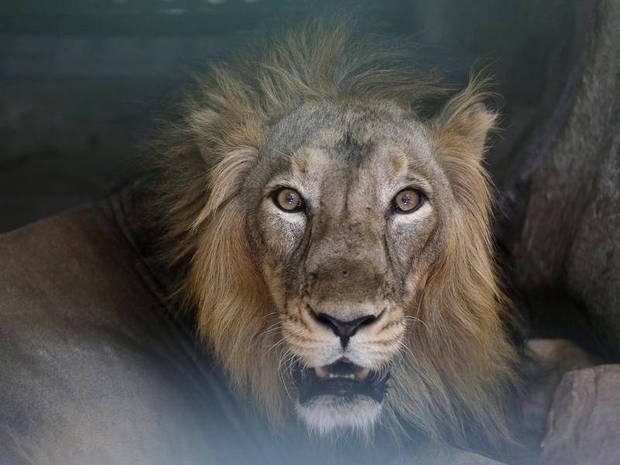 Hàng loạt sư tử ở Ấn Độ dương tính với Covid-19 - Ảnh 1.