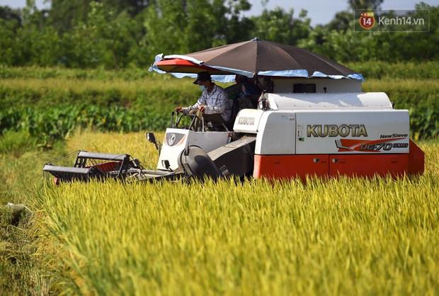 Ảnh: Tình nguyện viên đội nắng nóng thu hoạch lúa cho người dân nơi tâm dịch Thuận Thành, Bắc Ninh - Ảnh 1.
