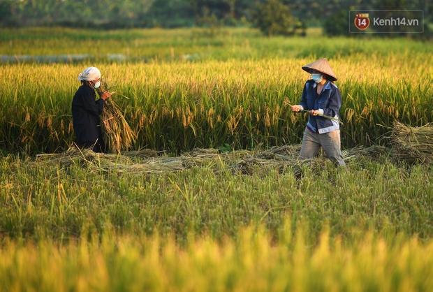 Ảnh: Tình nguyện viên đội nắng nóng thu hoạch lúa cho người dân nơi tâm dịch Thuận Thành, Bắc Ninh - Ảnh 16.