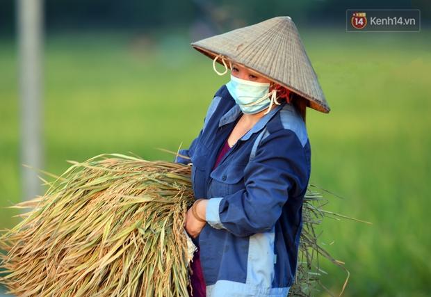 Ảnh: Tình nguyện viên đội nắng nóng thu hoạch lúa cho người dân nơi tâm dịch Thuận Thành, Bắc Ninh - Ảnh 18.