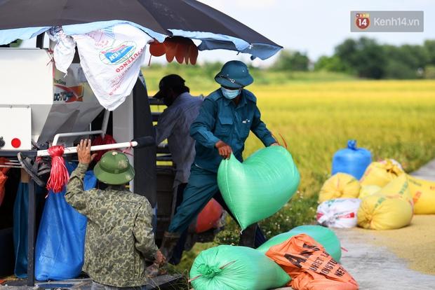 Ảnh: Tình nguyện viên đội nắng nóng thu hoạch lúa cho người dân nơi tâm dịch Thuận Thành, Bắc Ninh - Ảnh 2.