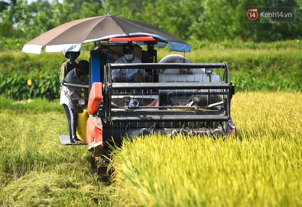 Ảnh: Tình nguyện viên đội nắng nóng thu hoạch lúa cho người dân nơi tâm dịch Thuận Thành, Bắc Ninh - Ảnh 3.