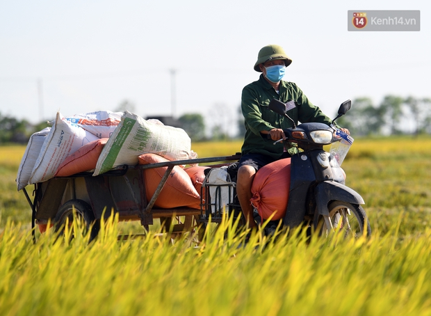 Ảnh: Tình nguyện viên đội nắng nóng thu hoạch lúa cho người dân nơi tâm dịch Thuận Thành, Bắc Ninh - Ảnh 6.