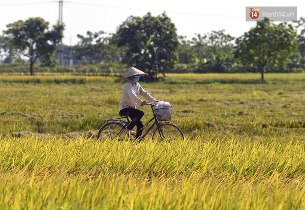 Ảnh: Tình nguyện viên đội nắng nóng thu hoạch lúa cho người dân nơi tâm dịch Thuận Thành, Bắc Ninh - Ảnh 9.