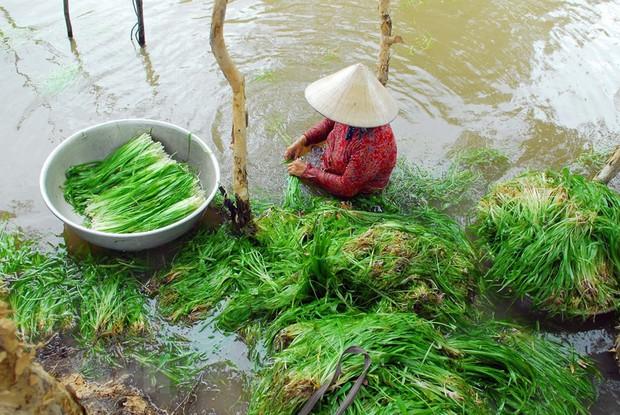 Miền Tây có 1 loại rau được gọi là lộc trời cho, mỗi năm chỉ có đúng 1 mùa nên ai cũng tranh thủ ăn - Ảnh 2.