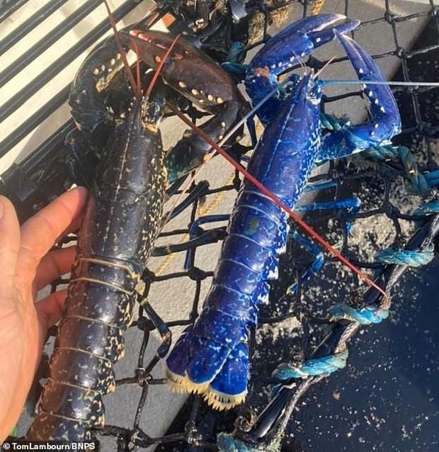 Đi biển bắt được tôm hùm xanh cực quý hiếm, ngư dân vội vàng thả đi ngay lập tức, biết được lý do ai cũng bất ngờ - Ảnh 2.