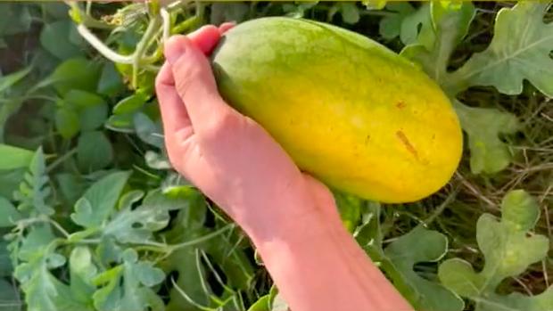 Lén trồng trái dưa hấu bên vệ đường, tới ngày thu hoạch, thanh niên hí hửng mang vào nhà xẻ ra ăn và té ngửa vì thứ bên trong - Ảnh 3.