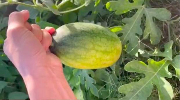 Lén trồng trái dưa hấu bên vệ đường, tới ngày thu hoạch, thanh niên hí hửng mang vào nhà xẻ ra ăn và té ngửa vì thứ bên trong - Ảnh 4.